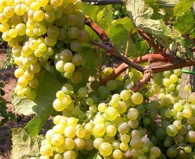 Regionális szőlőfajták