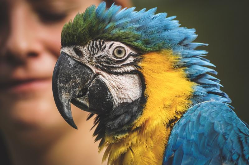 ÁLLATOK VILÁGNAPJA A KÖNYVTÁRBAN: Sárga-kék ara papagáj közeli ábrázolásban