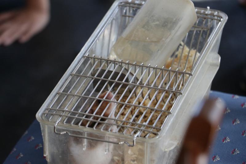 RÁGCSÁLÓ BARÁTAINK: Közeli fotó egy hörcsögről a ketrecben