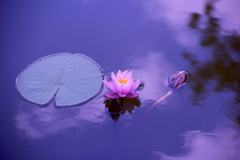 AZ ÉLETREFORM KLUBHOZ KAPCSOLÓDÓ PROGRAM: Illusztratív fotó egy tavi virágról